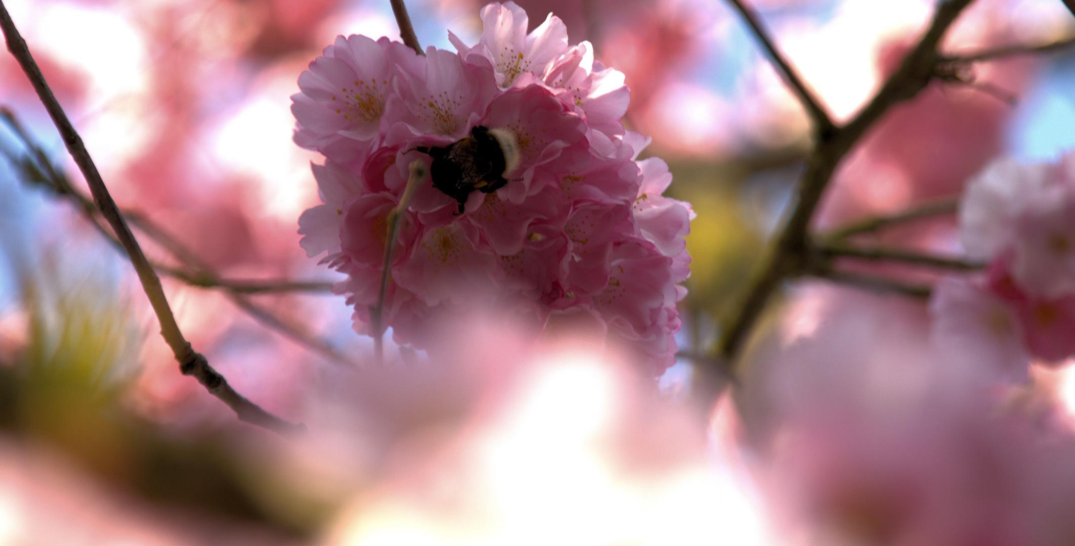 Die Kirschbäume blühen wieder.