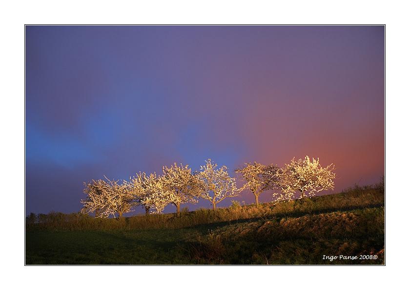 - Die Kirschbaumreihe -