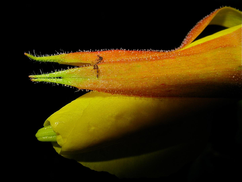 Die klebrigen Drüsenhaare der Kelchblätter der Nachkerze Oenothera . . .
