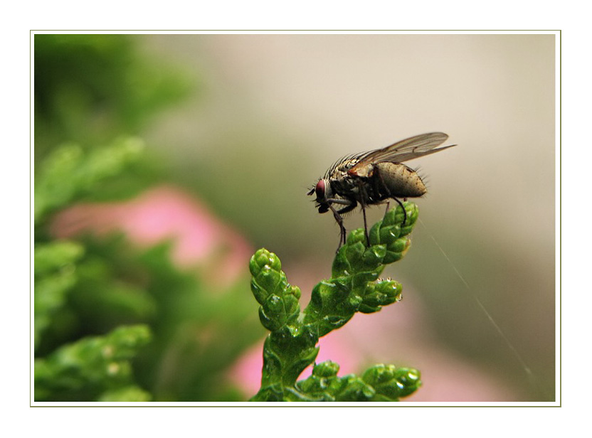 Die kleine Fliege