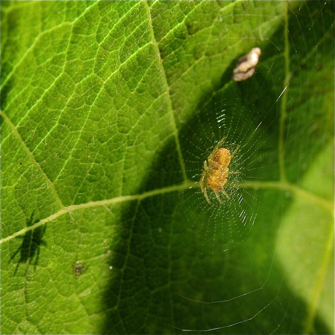 Die kleine Kürbisspinne (Araniella cucurbitina) ist seit geraumer Zeit nicht gewachsen - . . .