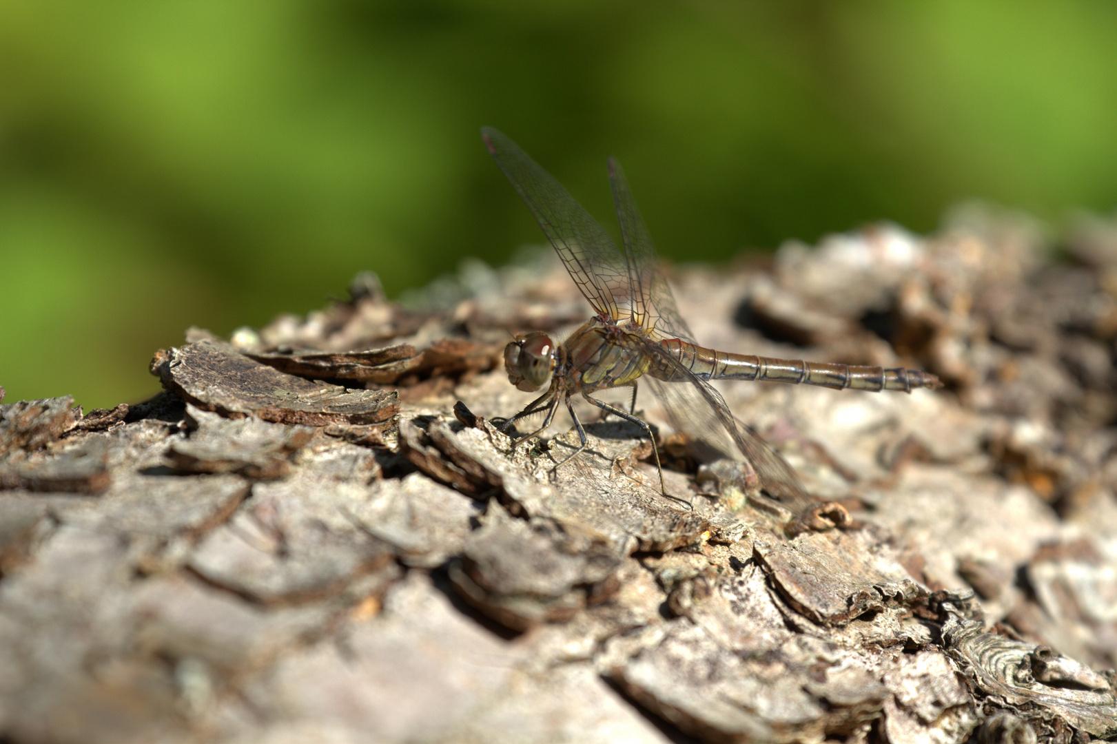 die kleine Libelle
