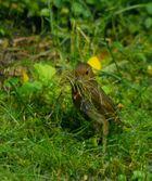 Die kleine Nestbauerin ...