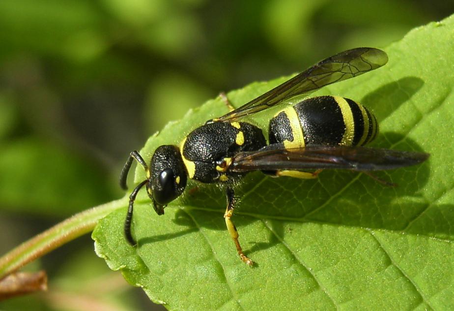 die kleine schwarze mit den gelben streifen foto bild tiere wildlife insekten bilder auf. Black Bedroom Furniture Sets. Home Design Ideas