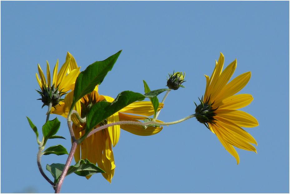 die kleine Sonnenblume