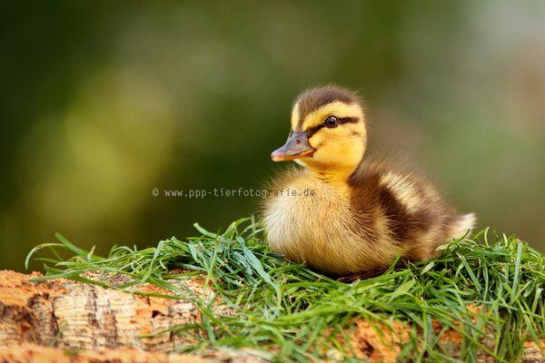 die kleine wilde Ente Ida