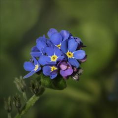 Die kleinen Blauen....