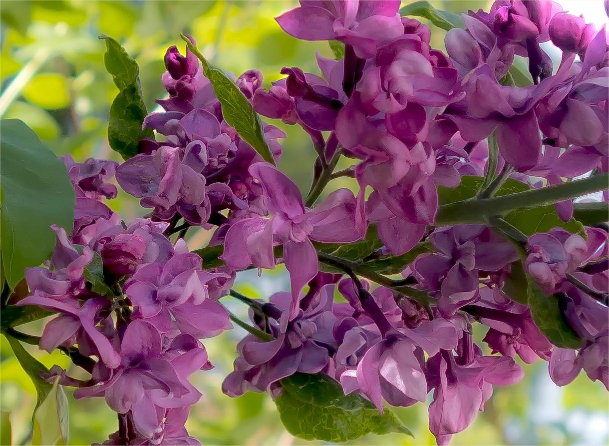 Die kleinen Blüten des Flieders