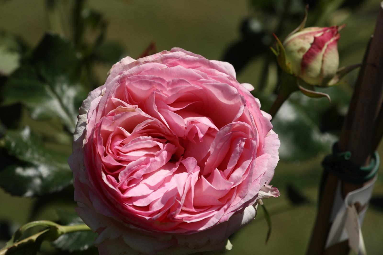 Die Königin der Blumen - die Rose