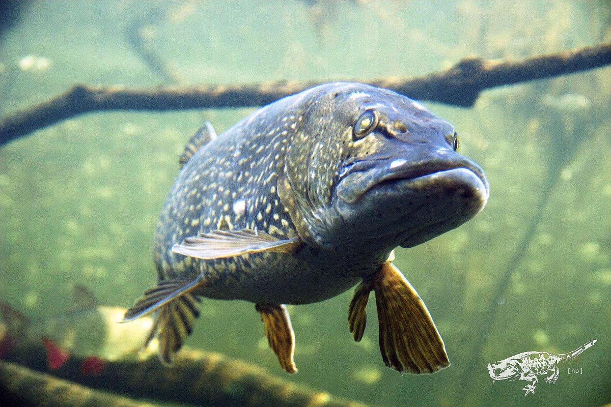 Die Königin des Teichs - Frau Hecht sagt hallo