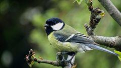 die Kohlmeise (Parus major) - Weibchen -...