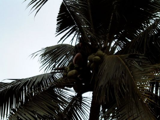 Die Kokosnuss ernte