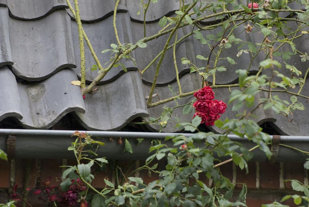 Die Kraft der Rose