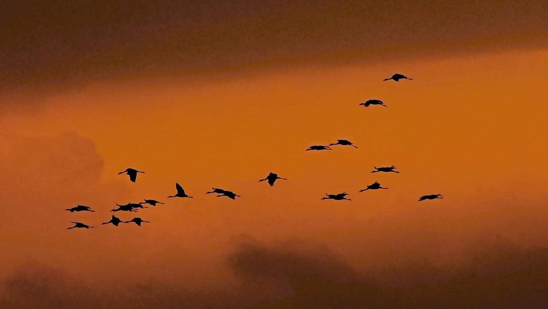 Die Kraniche fliegen
