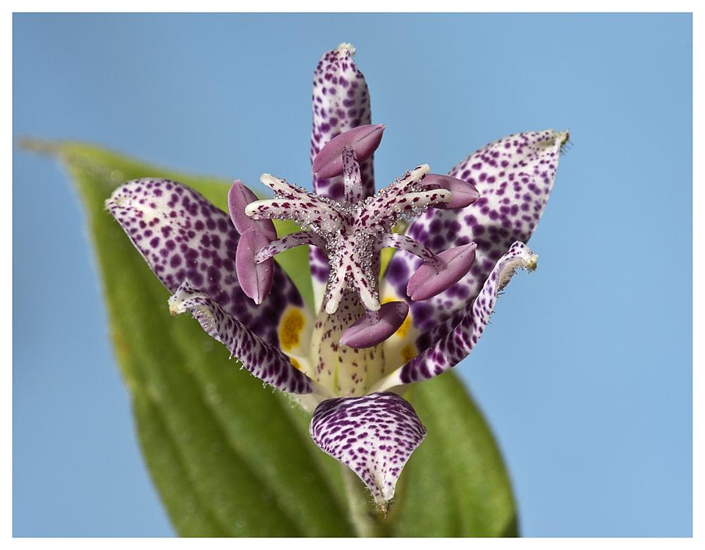 Die Krötenlilie