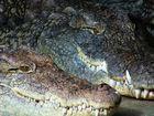 Die Krokodile vom Nile