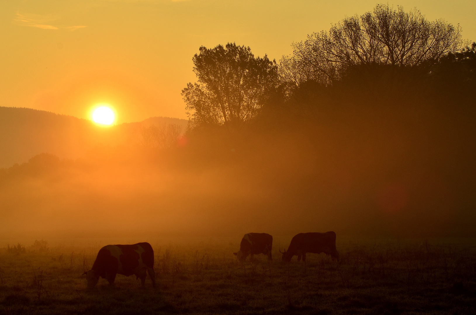 Die Kühe sind schon wach.