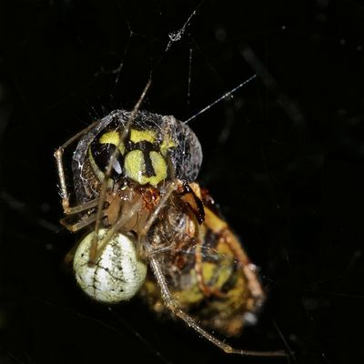 Die Kugelspinne Enoplognatha lineata hat eine Gemeine Wespe (Paravespula vulgaris) gefangen