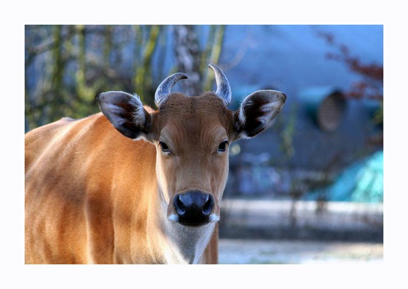Die Kuh im Zoo :-)