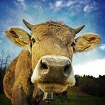 Die Kuh macht muh