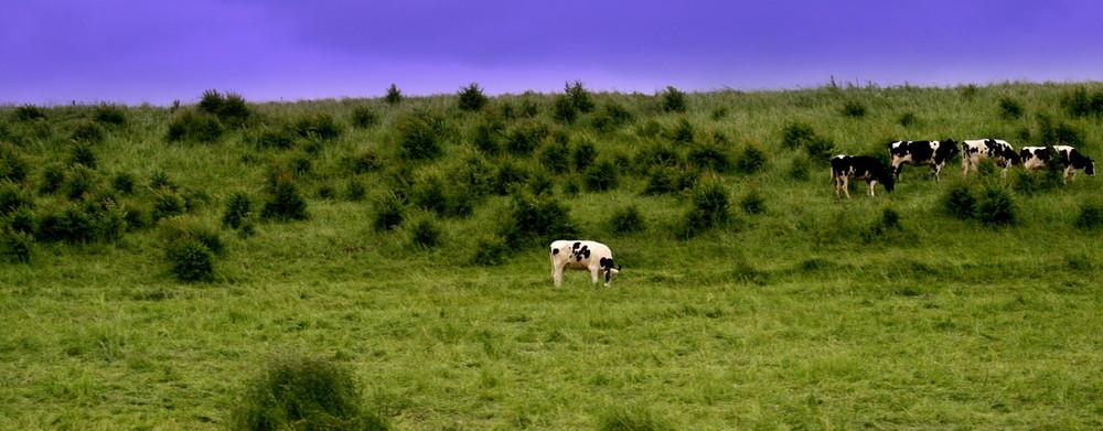die Kuh sagt muh