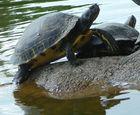 Die Kumpelschildkröte