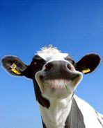 Die lachende Kuh