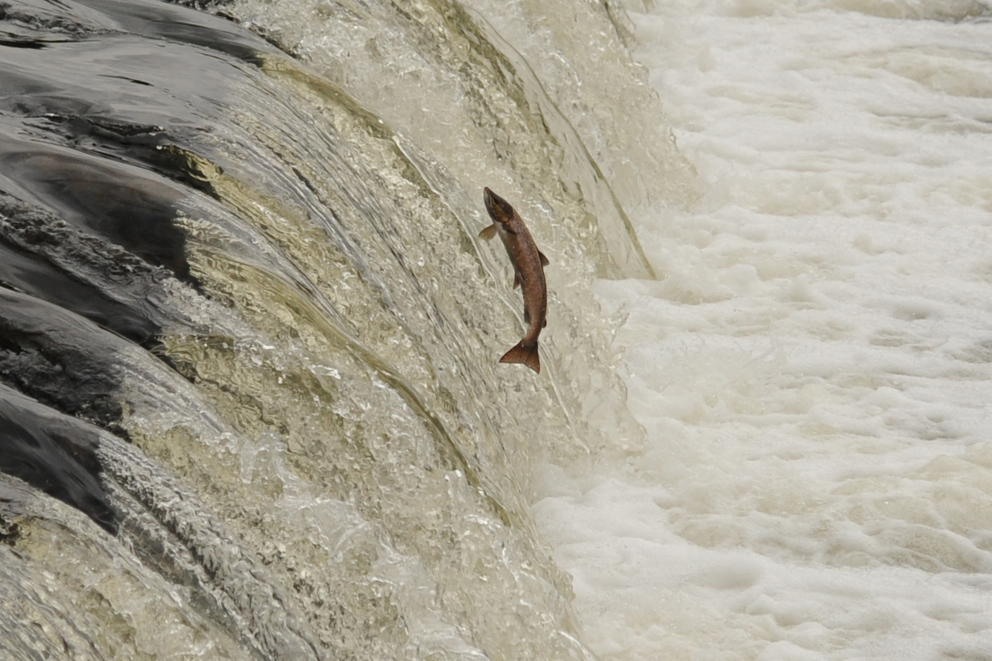 Die Lachse Springen...!