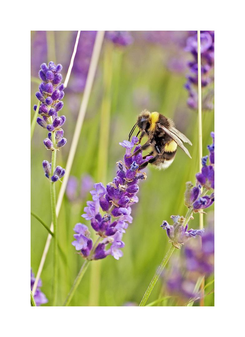 Die Lavendel-Liebhaberin