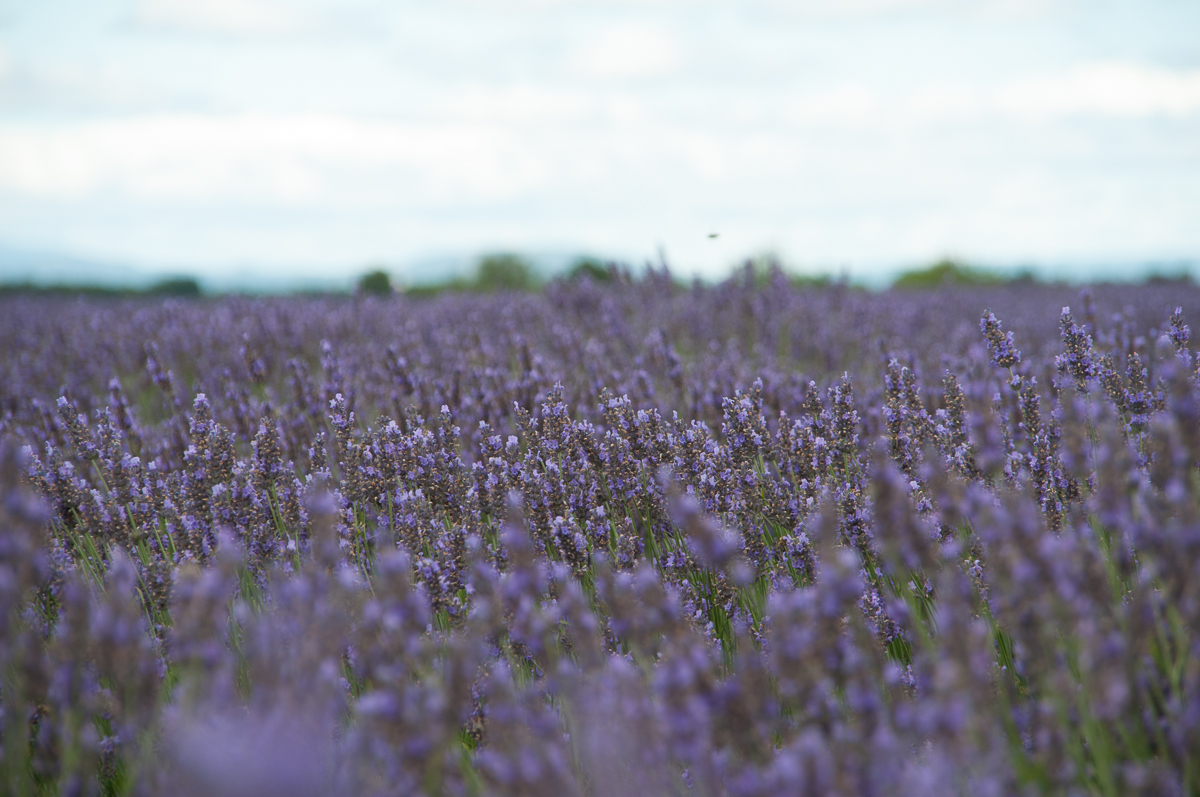 Die Lavendelfelder in Südfrankreich