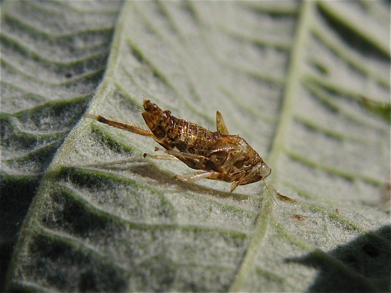 Die leere Hülle einer Zikadenlarve - das erwachsene Insekt ist schon geschlüpft . . .