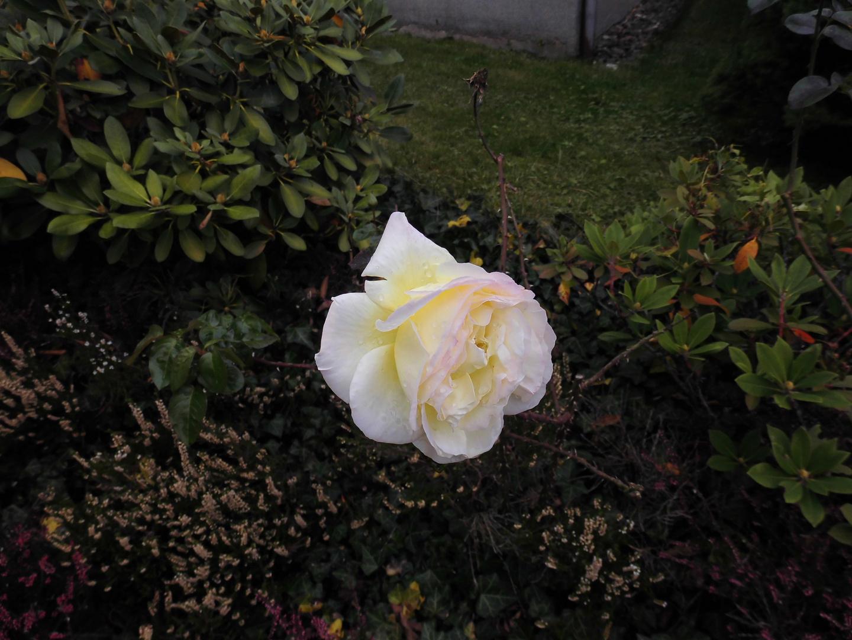 Die leste Rose