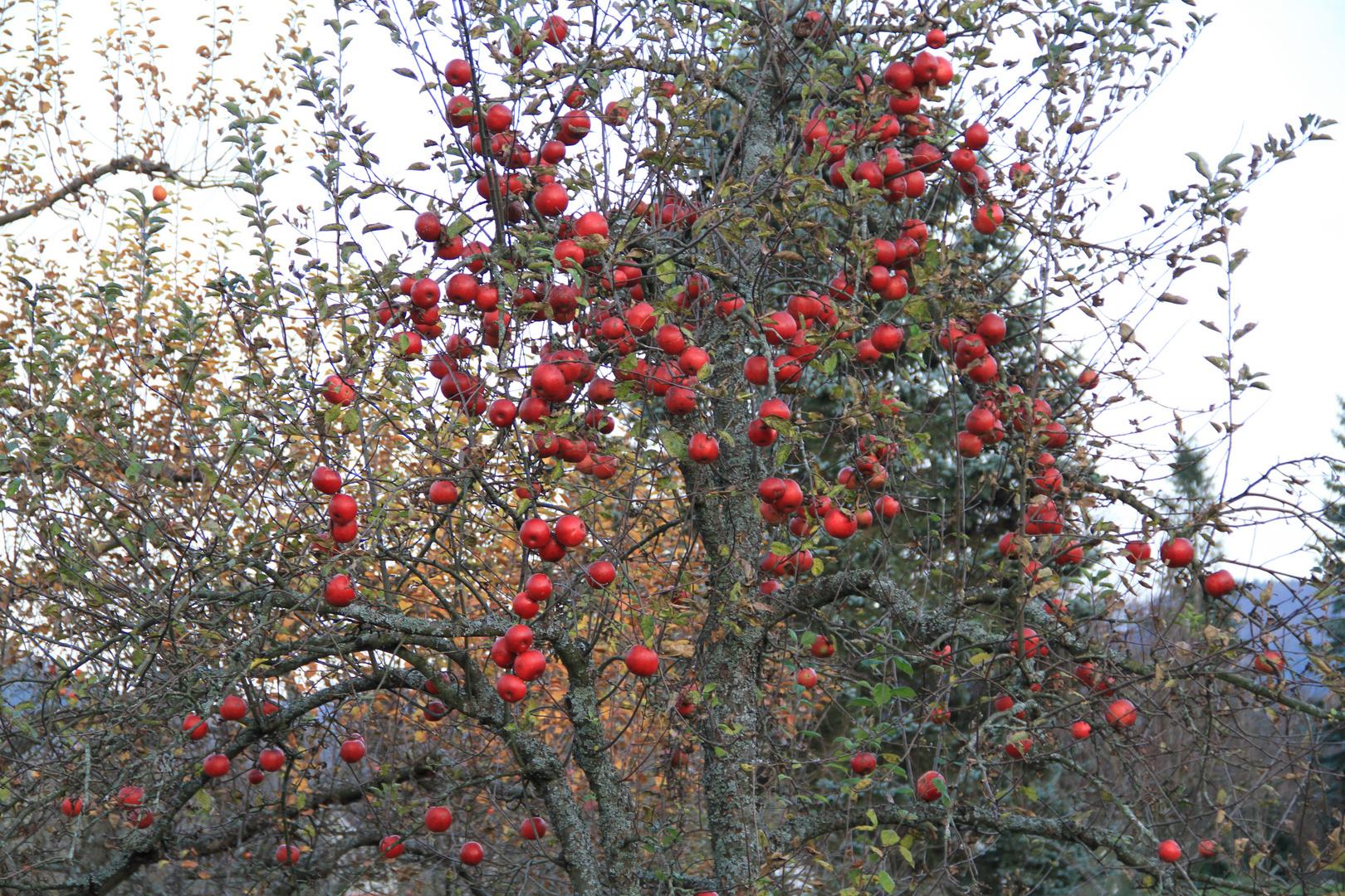 Die letzen Äpfel im Herbst