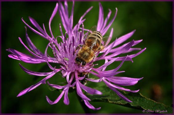 ~ die letzte Pollen Sammlung ~
