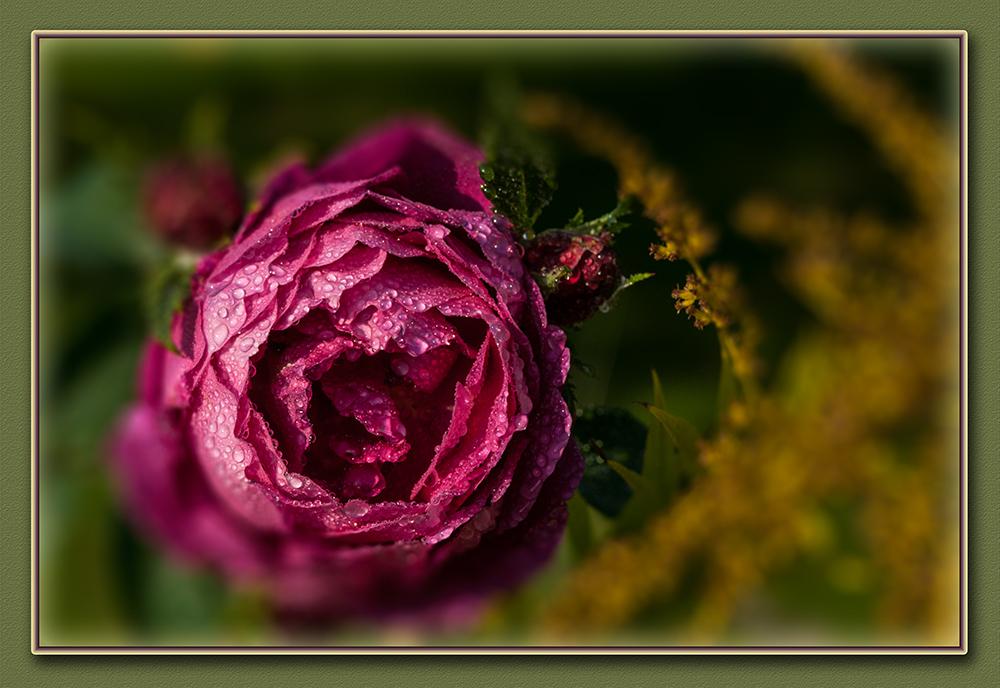 die letzte Rose ?