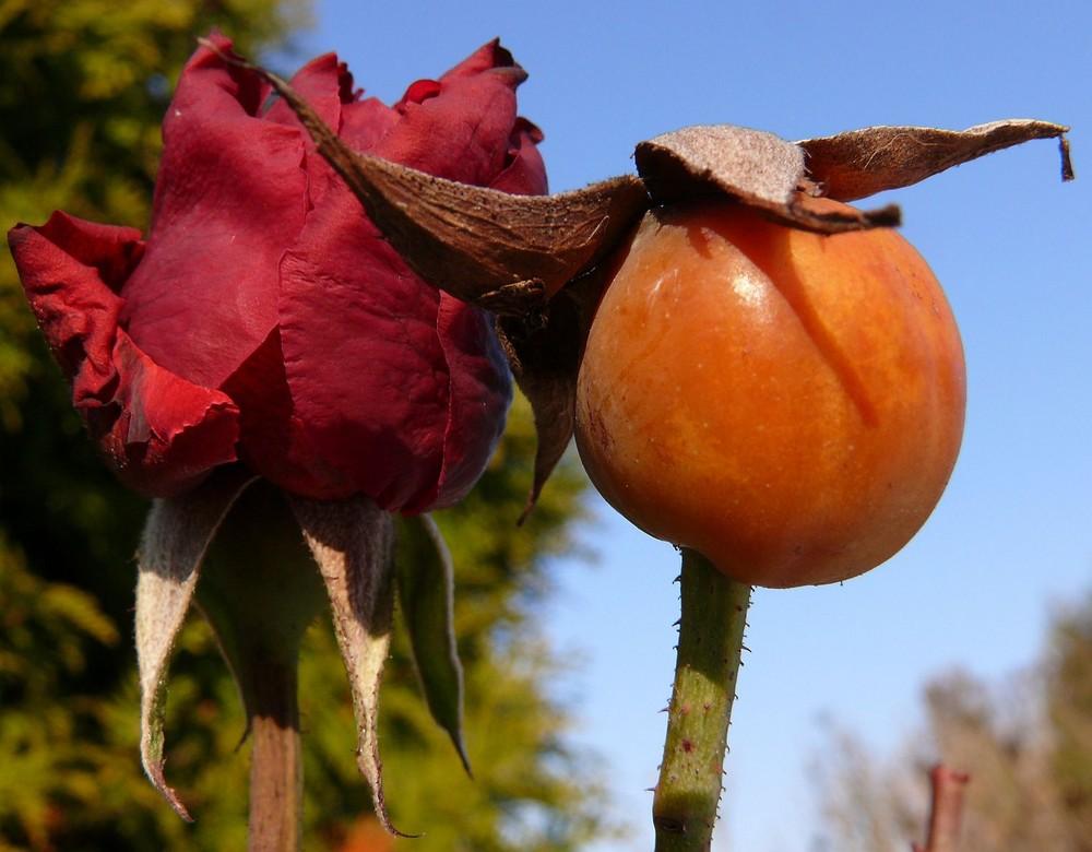 Die letzte Rose..........