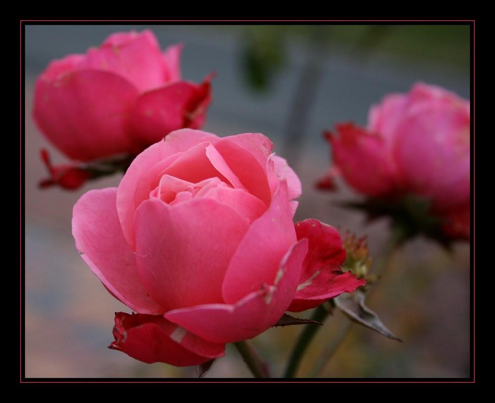 Die letzte Rose....