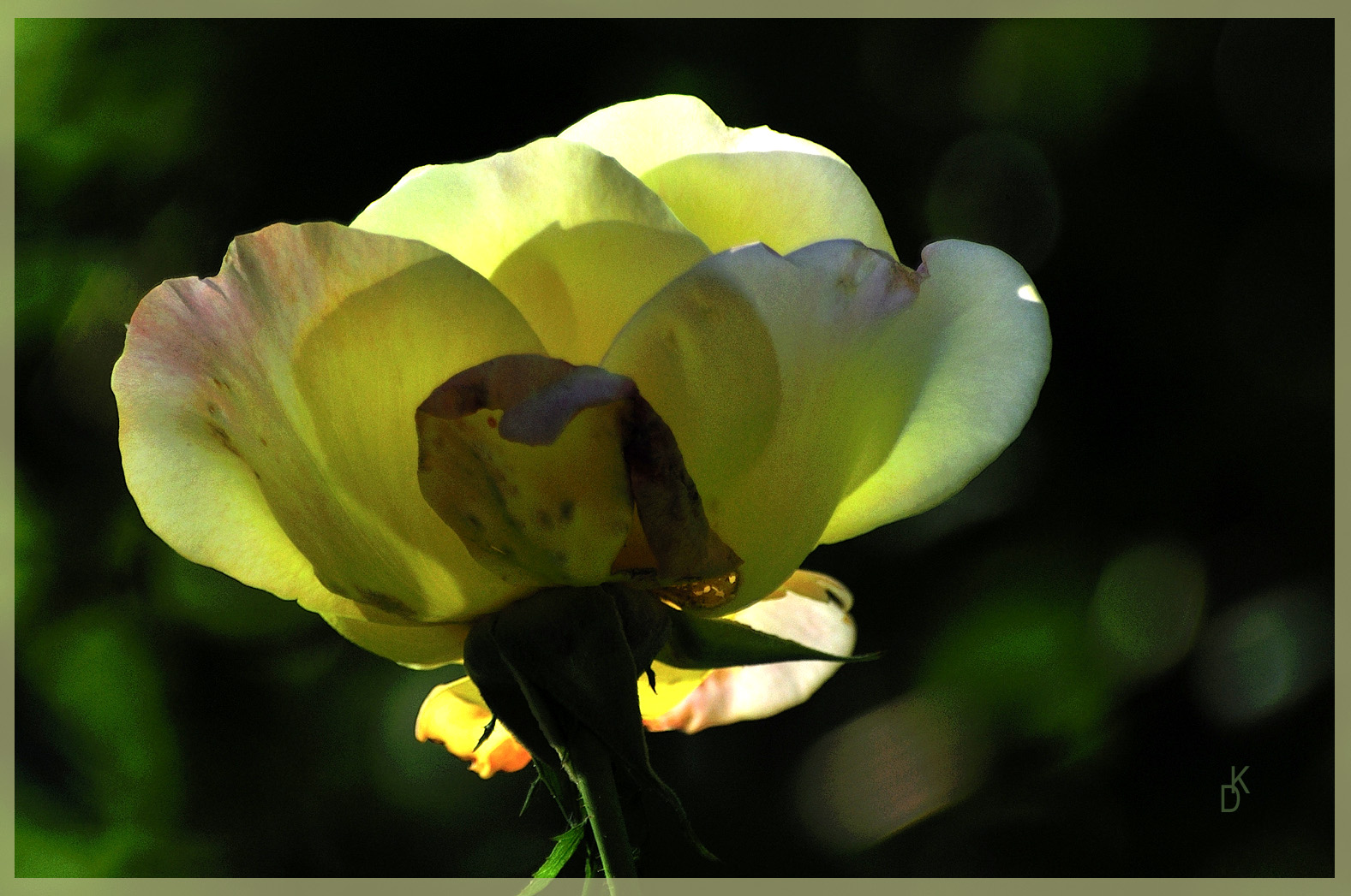 Die letzte Rose...