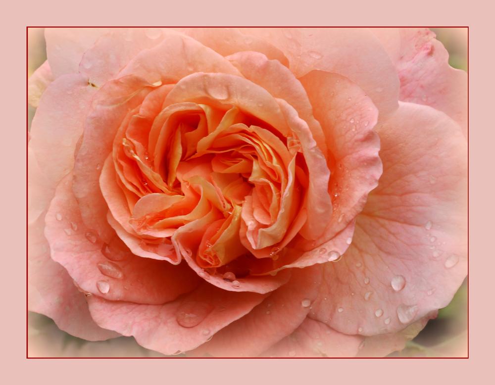 Die letzte Rose?