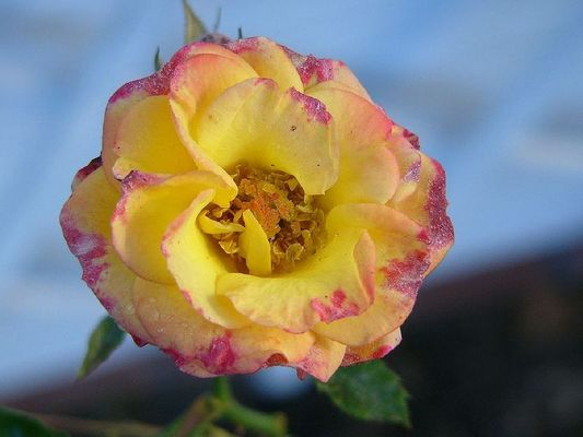 Die letzte Rose......