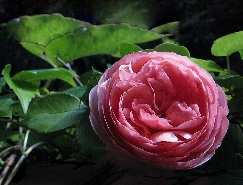 die letzte Rose des