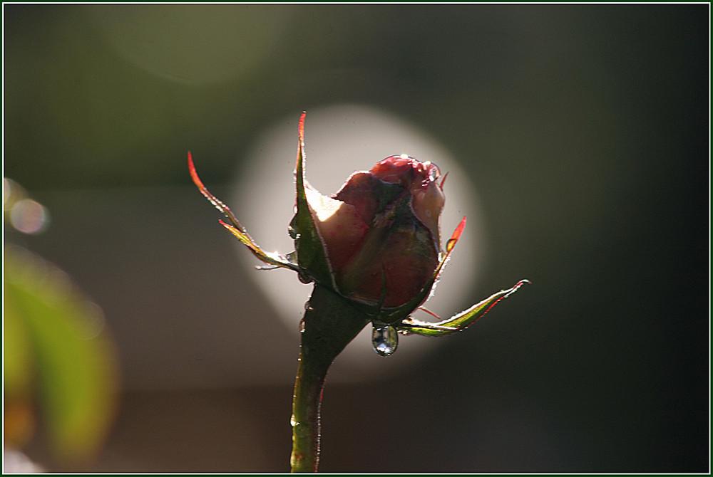 Die letzte Rose