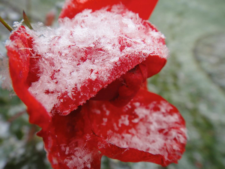 Die letzte Rose im ersten Schnee