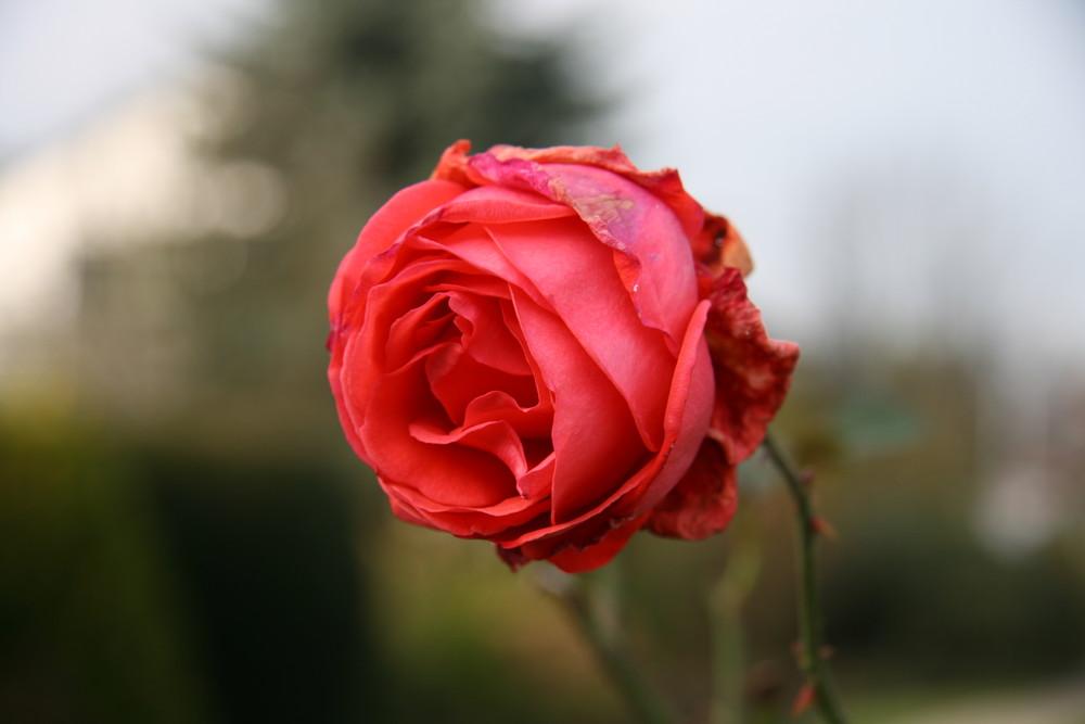 Die letzte Rose im Garten ...