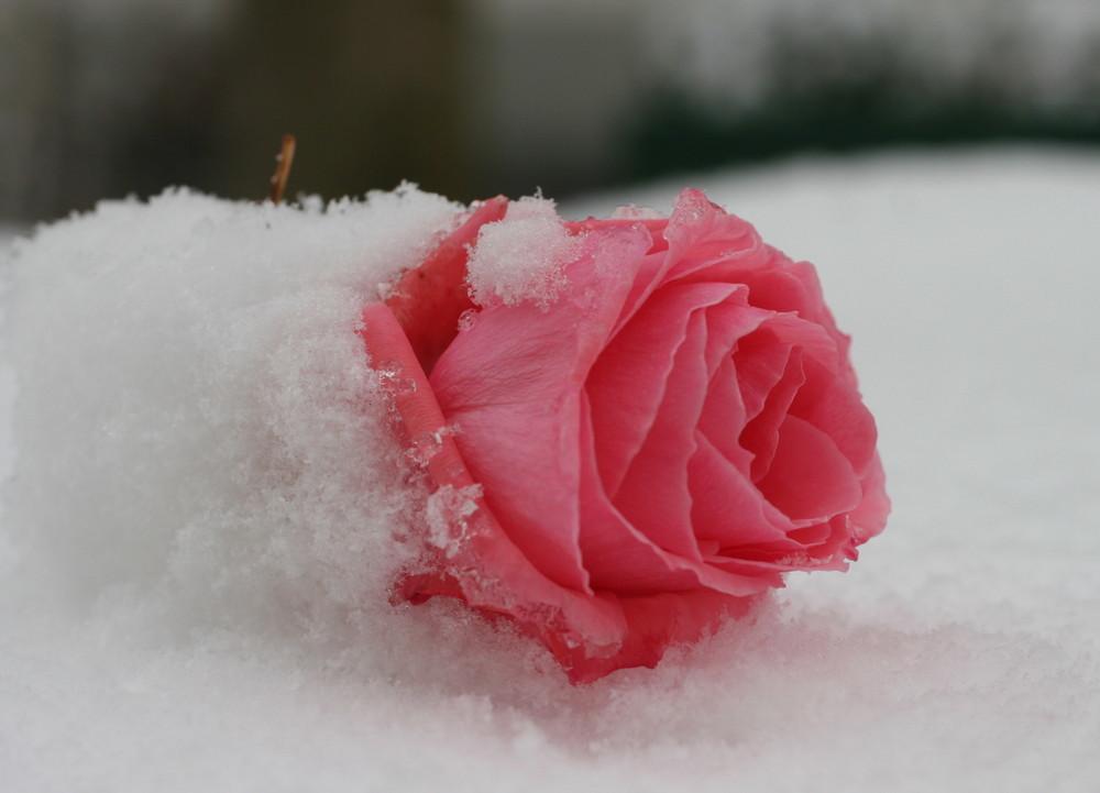 Die letzte Rose im Schne