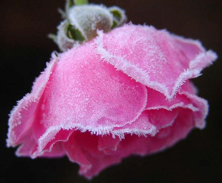 Die letzte Rose in unserem Garten