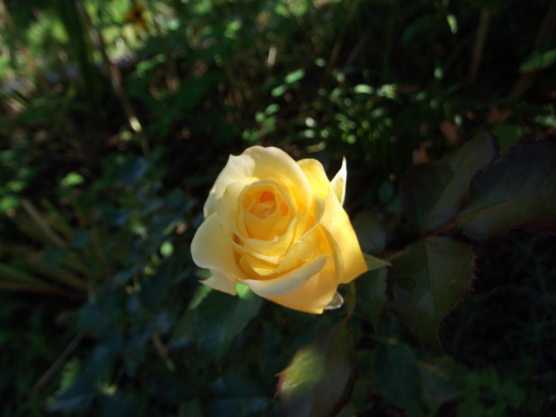 """die letzte Rose - """"Sunlight Romantica"""""""