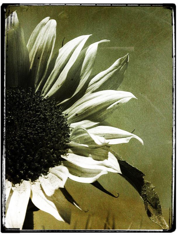 die letzte sonnenblume...