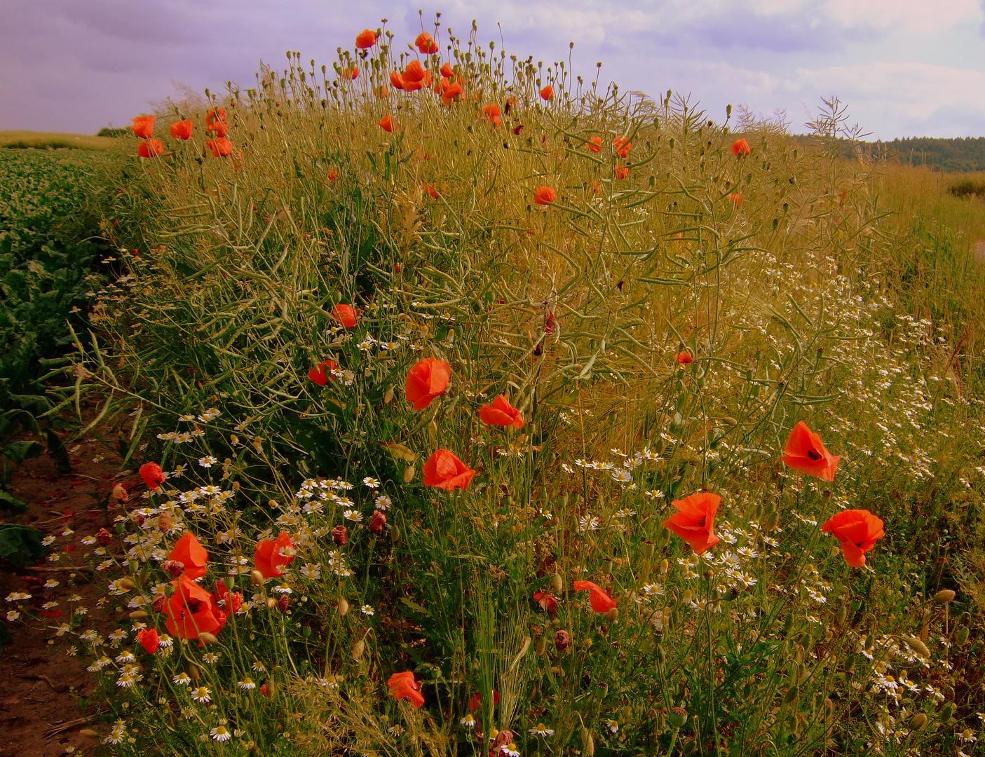 -Die letzten Blüten am Wegesrand-