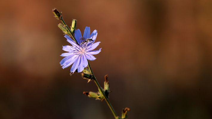 ..die letzten Blüten der Wegwarte..